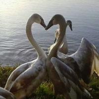 Cigni, il collo a forma di cuore