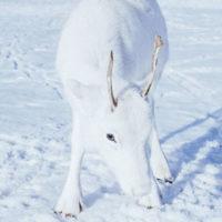 Rarissimo cucciolo di renna bianca