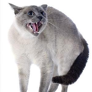 gatti ladro thum