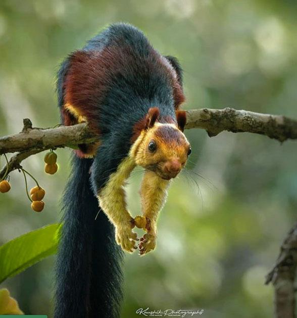 scoiattolo arcobaleno