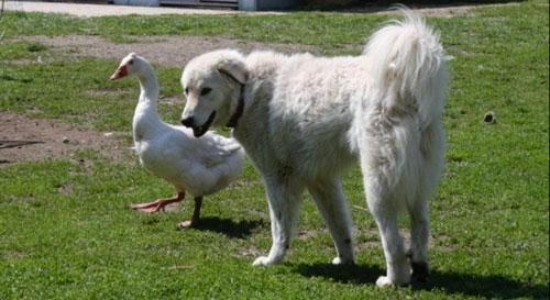 amore cane oca