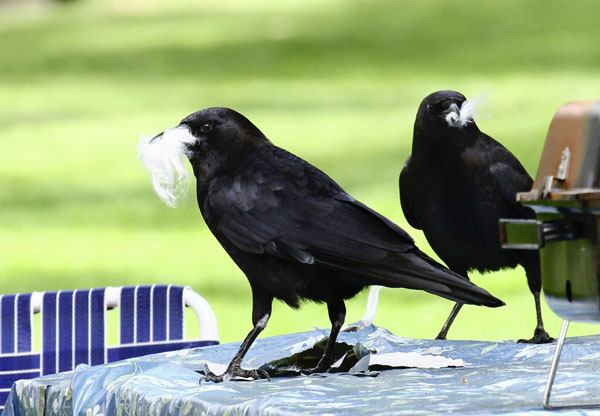 corvi provano rancore