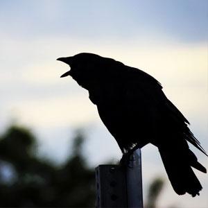 corvo che urla thum