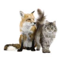 Il gatto e la volpe insieme, per condividere la cena