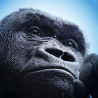 La mano del gorilla sembra quella umana