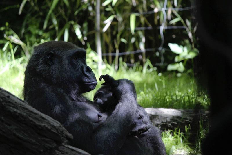 gorilla mamma e figlio