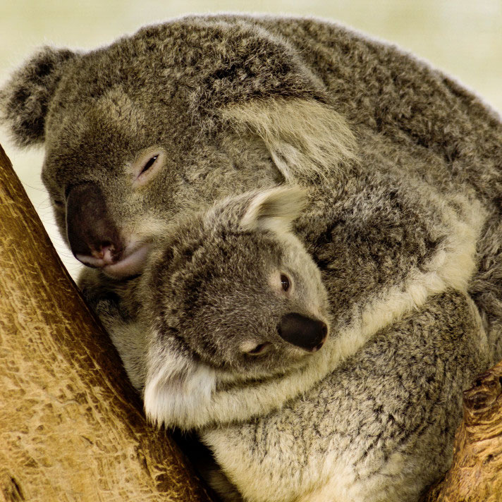 koala mamma e figlio