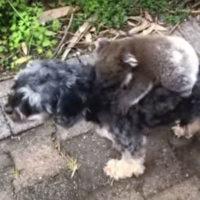 Koala scambia un cane per la sua mamma