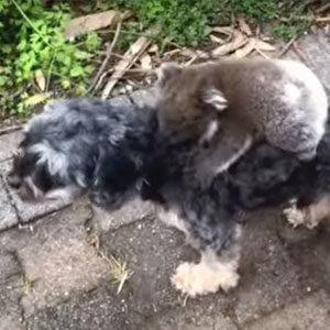 koala sul cane thum
