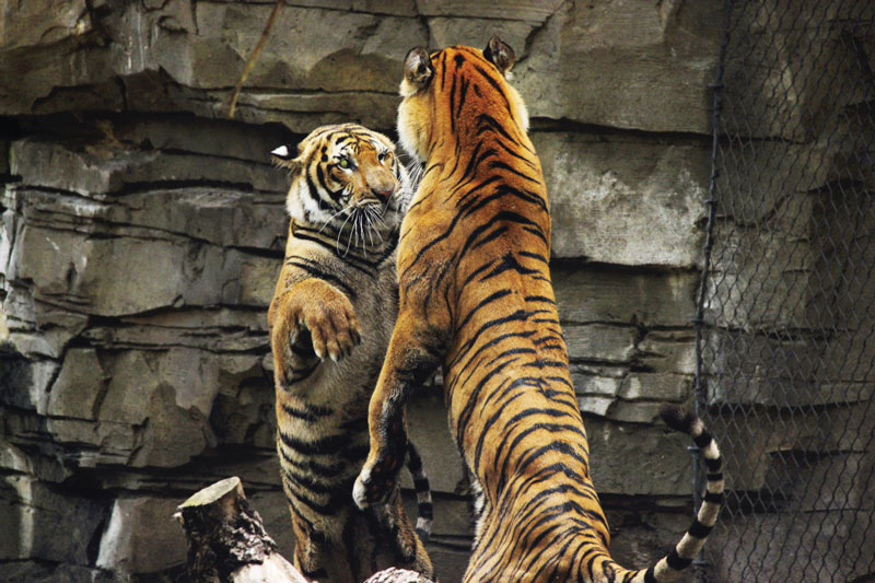 tigre allo zoo
