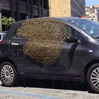Una famiglia di 60 mila api sul vetro di una macchina
